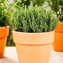 Zimmerpflanze Eataliano Echter Thymian