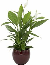 Zimmerpflanze Einblatt, Blattfahne, Spathiphyllum,