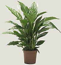 Zimmerpflanze – Einblatt – Höhe: 76 cm