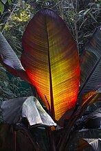 Zimmerpflanze - Ensete maurelli - Seltene Rote Zierbanane - breiter Stamm - 80+cm Topf 10 Ltr.