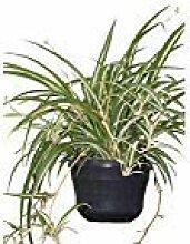 Zimmerpflanze für Wohnraum oder Büro -