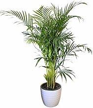 Zimmerpflanze - für Wohnraum oder Büro -