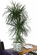 Zimmerpflanze für Wohnraum oder Büro - Dracaena