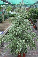 Zimmerpflanze für Wohnraum oder Büro – Ficus benjamina – Birkenfeige mit weißbunter Blattfärbung