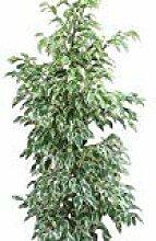 Zimmerpflanze für Wohnraum oder Büro - Ficus