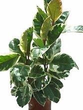 Zimmerpflanze für Wohnraum oder Büro – Ficus