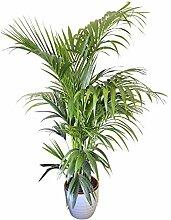 Zimmerpflanze für Wohnraum oder Büro - Howea