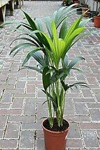 Zimmerpflanze für Wohnraum oder Büro – Howea