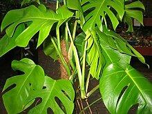 Zimmerpflanze für Wohnraum oder Büro - Monstera
