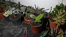 Zimmerpflanze für Wohnraum oder Büro - Musa