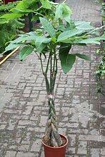 Zimmerpflanze für Wohnraum oder Büro - Pachira