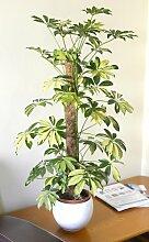 """Zimmerpflanze für Wohnraum oder Büro – Schefflera arborea """"Gold Capella"""" – Kleine Strahlenaralie, buntblättrig"""
