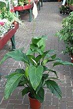 Zimmerpflanze für Wohnraum oder Büro – Spathyphyllum – 45cm – Einblatt – FRIEDENSLILIE