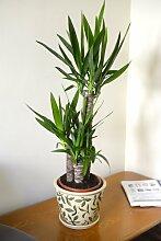 Zimmerpflanze für Wohnraum oder Büro - Yucca
