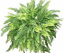 Zimmerpflanze - Nephrolepsis - Boston-Farn -