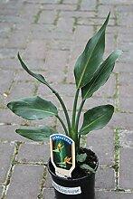 Zimmerpflanze Paradiesvogelblume - Strelitzia