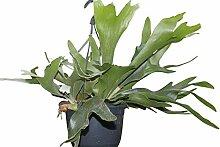 Zimmerpflanze - Platycerium bifurcatum -