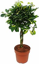 Zimmerpflanze - Schefflera - mit geflochtenem Stamm - ca. 60-70cm hoch