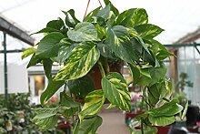 Zimmerpflanze - Scindapsus - Buschige