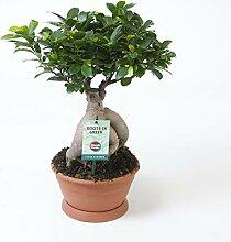 Zimmerpflanze von Botanicly - Bonsai - Höhe: 50