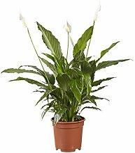 Zimmerpflanze von Botanicly – Einblatt –