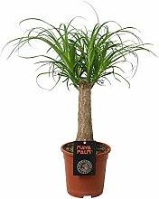 Zimmerpflanze von Botanicly - Elefantenfuß -