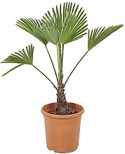 Zimmerpflanze von Botanicly - Hanfpalme - Höhe: