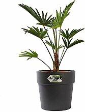 Zimmerpflanze von Botanicly - Hanfpalme in