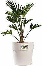 Zimmerpflanze von Botanicly - Hanfpalme in weißem