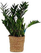 Zimmerpflanze Zamioculcas »Glücksfeder« im