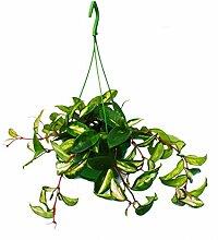 Zimmerpflanze zum Hängen - Hoya carnosa rubra -