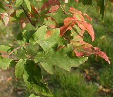 Zimt-Ahorn (Acer griseum) 10 Samen