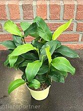 Zimt Aroma Eletarria cardamomum 1stk/Kräuter Pflanze