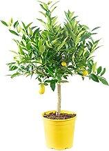 Zitrone - Citrus Limon - Höhe ca. 40 cm, Topf-Ø