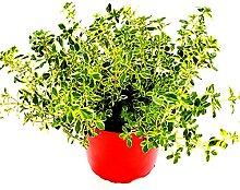 Zitronen Thymian Kräuter Pflanze Thymus