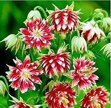 ZIXI SAMEN- Akelei Blumen Samen Langgespornte