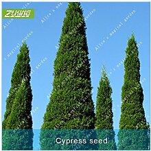 ZLKING 100pcs Evergreen Cypress Samen Baum Pflanze Bonsai Samen als Christbaumpflanze Staude Pflanzen Dekorationen für das Haus Garten