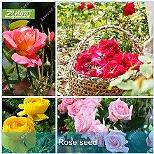 ZLKING 100Pcs Rose Blumen Bonsai Frische Samen Schöne exotische Pflanze verzierte Hausgarten Stauden Flowe Hohe Keimungrate 1