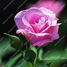 ZLKING 100Pcs Rose Blumen Bonsai Frische Samen Schöne exotische Pflanze verzierte Hausgarten Stauden Flowe Hohe Keimungrate 7