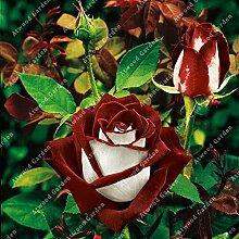 ZLKING 100Pcs Rose Blumen Bonsai Frische Samen Schöne exotische Pflanze verzierte Hausgarten Stauden Flowe Hohe Keimungrate 5