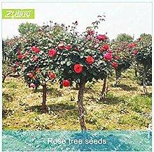 ZLKING 100pcs Rote Rose von Perennial Hausgarten