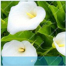zlking 2Colorful Calla Lily Blume Bonsai Pflanze