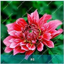 ZLKING 2ST Bunte Dahlie Blumenzwiebeln seltene schöne Staude Dahlia Blumenzwiebeln Bonsai Pflanze DIY Hochzeit Hausgarten 7
