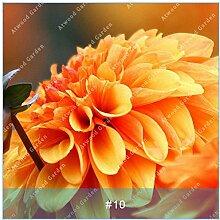 ZLKING 2ST Bunte Dahlie Blumenzwiebeln seltene schöne Staude Dahlia Blumenzwiebeln Bonsai Pflanze DIY Hochzeit Hausgarten 9