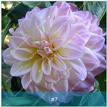 ZLKING 2ST Bunte Dahlie Blumenzwiebeln seltene schöne Staude Dahlia Blumenzwiebeln Bonsai Pflanze DIY Hochzeit Hausgarten 6