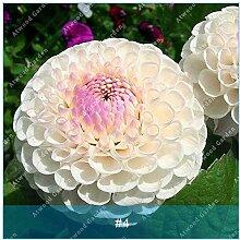 ZLKING 2ST Bunte Dahlie Blumenzwiebeln seltene schöne Staude Dahlia Blumenzwiebeln Bonsai Pflanze DIY Hochzeit Hausgarten 4