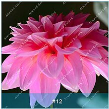 ZLKING 2ST Bunte Dahlie Blumenzwiebeln seltene schöne Staude Dahlia Blumenzwiebeln Bonsai Pflanze DIY Hochzeit Hausgarten 11