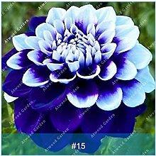 ZLKING 2ST Bunte Dahlie Blumenzwiebeln seltene schöne Staude Dahlia Blumenzwiebeln Bonsai Pflanze DIY Hochzeit Hausgarten 15