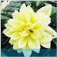 ZLKING 2ST Bunte Dahlie Blumenzwiebeln seltene schöne Staude Dahlia Blumenzwiebeln Bonsai Pflanze DIY Hochzeit Hausgarten 2