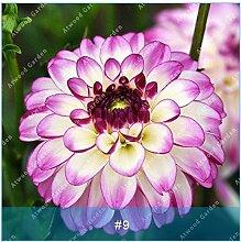 ZLKING 2ST Bunte Dahlie Blumenzwiebeln seltene schöne Staude Dahlia Blumenzwiebeln Bonsai Pflanze DIY Hochzeit Hausgarten 8